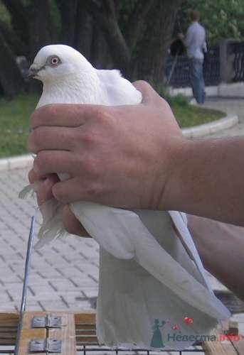 Фото 6839 в коллекции Мои фотографии - Белые голуби на свадьбу