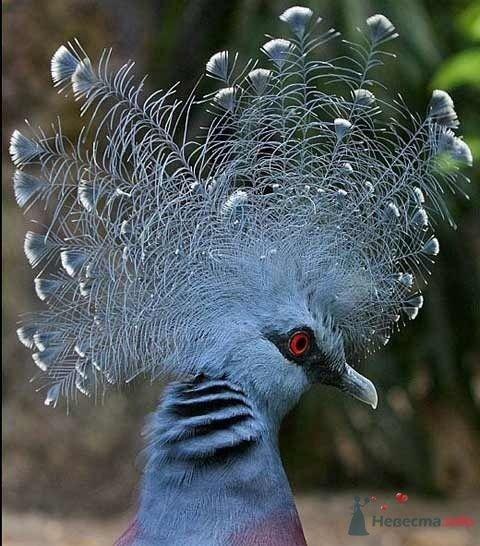 Венценосный голубь - фото 67020 Incognito
