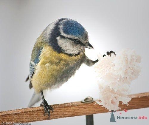 Синичка-лазоревка - фото 71554 Incognito